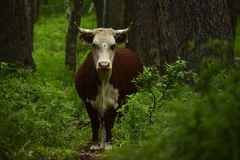 Cow standing on a forest path stock photo