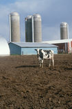 Cow standing in front of dairy barn. Solitary black and white cow at a dairy farm, Illinois Royalty Free Stock Photography