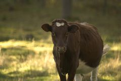 Cow standing in a grass field looking at the camera. Brown and white Royalty Free Stock Photo