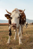 Cow standing in grassy field Royalty Free Stock Image