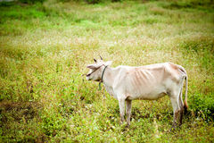 Cow standing in a green meadow. Stock Photo