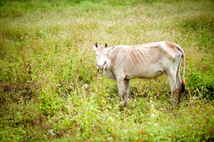 Cow standing in a green meadow. Royalty Free Stock Images