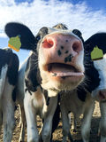 Cow standing in herd opening mouth Stock Photo