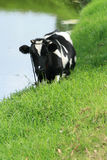 Cow Standing Beside a Lake Royalty Free Stock Photo