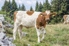 Cow standing and looking at camera Royalty Free Stock Images