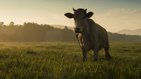 Cow. Standing in a meadow royalty free stock images