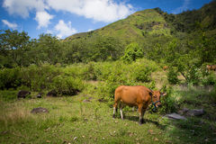 Cow standing in a meadow. On a mountainside in flores, indonesia Stock Photography