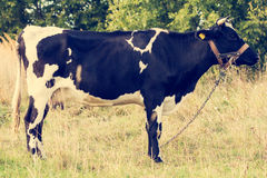Cow standing in a meadow Stock Images