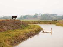 A cow standing near a pond Royalty Free Stock Images