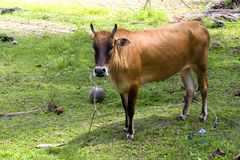 Cow standing Stock Photo