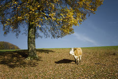 Cow standing next tree. Cow standing next to a tree near elangen, germany Stock Photography