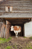 A cow is standing out its cowshed in a mountain pasture in Val di Funes - Dolomites Stock Image