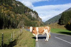 A cow standing on the road through the Alps. Austria. A cow standing on the road through the Alps. Federal state of Carinthia, High Tauern mountains, Austria Stock Image