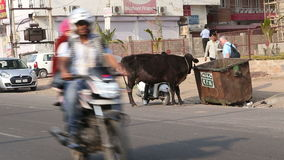 Cow standing on the road in city eating from trash bin. stock footage