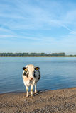 Cow standing on the sandy river beach Stock Photo