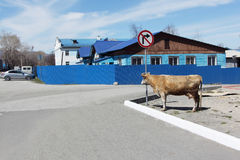 The cow standing at a sign - Turn is to the right forbidden Royalty Free Stock Photos