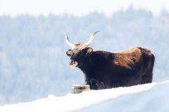 A cow standing in the snow and drinking water. Out of a bucket Stock Photo