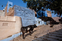 Cow standing on the steps of the ancient Indian city Royalty Free Stock Photos
