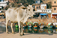 Cow standing on the street of the old town with river and old houses Royalty Free Stock Photos