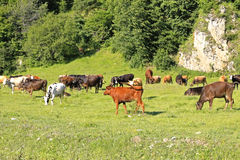 Cow Standing On The Summer Meadow Stock Photo