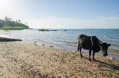 Cow standing on tropical beach of island Bubaque, Bijagos Islands, Guinea-Bissau, Africa.  royalty free stock image