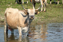 Cow standing in water. Farm scene stock photography