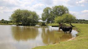 Cow standing in water at a lake Stock Photos