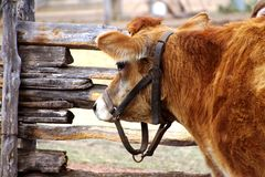 Cow standing by a wooden fence on the farm. With harness Stock Photos