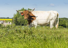Cow Stands By Barbed Wire Fence Stock Image