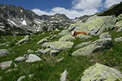 A cow stands between rocks in the mountains. A cow lies hidden among rocks and green grass in mountains, National Park Retezat, Romania Stock Images