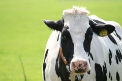 Cow staring into the camera Royalty Free Stock Photo