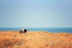 Cow, steppe and sea Royalty Free Stock Photography