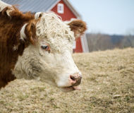 Cow sticks out tongue with red barn in background royalty free stock photography