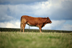 Cow stood in a field Royalty Free Stock Photography