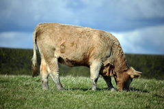 Cow stood in a field Stock Photos