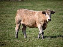 Cow stood in a field Stock Photography