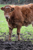 Cow stood in mud Royalty Free Stock Images
