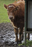 Cow stood in mud peering around a corner Stock Photography