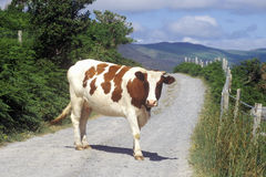 Cow stopped in the middle of the road in Cork, Ireland Stock Photos