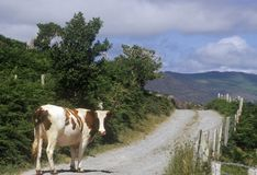 Cow stopped in road in Cork, Ireland Royalty Free Stock Photo
