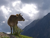 Cow on a storm at Pyrenees Royalty Free Stock Images