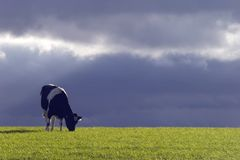 Cow and Stormy Sky. Black and white cow eating grass against a dark stormy sky Stock Photo