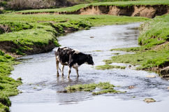 Cow wading in farm creek. Stock Photos