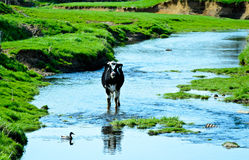 Cow in stream of water crossing. Holstein Friesian cattle. Stock Photography