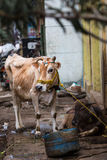 Cow on the street of Indian town Stock Images