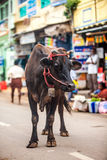 Cow on the street of Indian town Stock Image