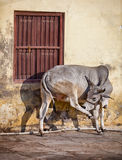 Cow on the street of Indian town - Udaipur Royalty Free Stock Photography