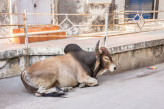Cow in the streets of Diu. The town and streets of Diu, India, have a nearly mediterranian apearance, although there are some cows in the streets Royalty Free Stock Images