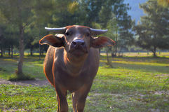 A cow stretches his lips portrait of a pretty bull`s muzzle Royalty Free Stock Photos