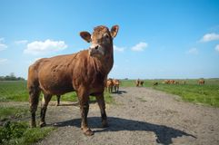 Cow in summer Royalty Free Stock Photo